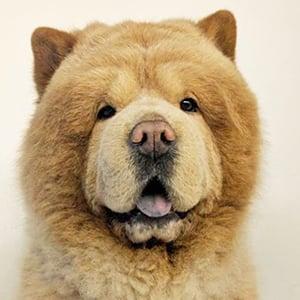 Chowder the Bear Dog 1 of 6