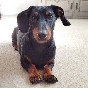 Dobby the Mini Dachshund