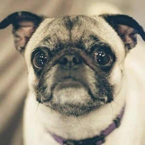 Guppy the Pug 1 of 10
