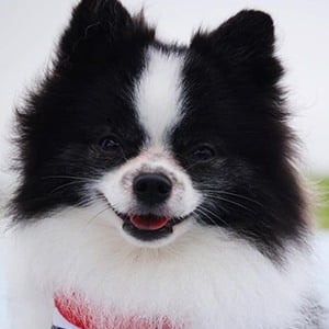 Huxley the Panda Puppy 1 of 3