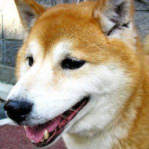 Maru the Shiba Inu Headshot