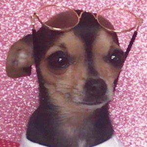 Rosetta The Chihuahua 1 of 7