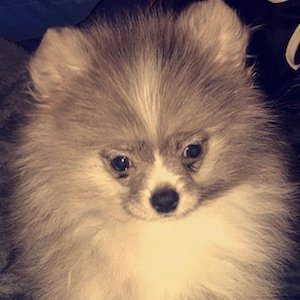 SilverPom 1 of 2