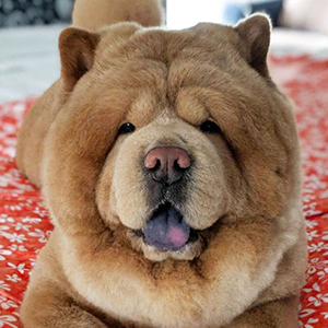 Chowder the Bear Dog 4 of 6