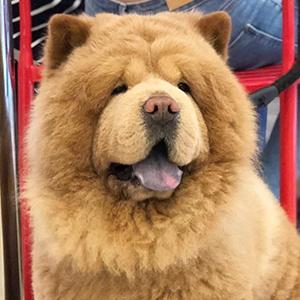 Chowder the Bear Dog 5 of 6