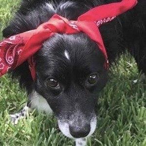 Daisy the Border Collie Headshot 8 of 10