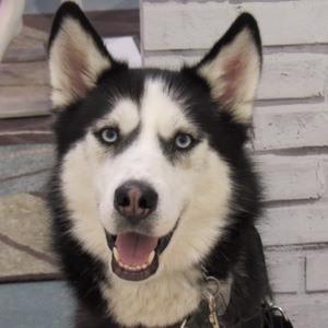Dakota The Siberian Service Dog 3 of 3