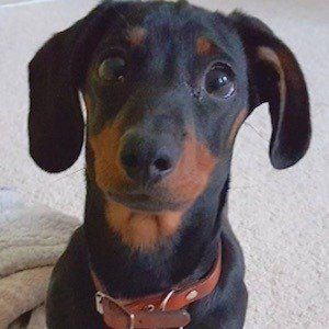 Dobby the Mini Dachshund 2 of 6