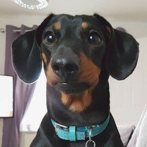 Dobby the Mini Dachshund 5 of 6