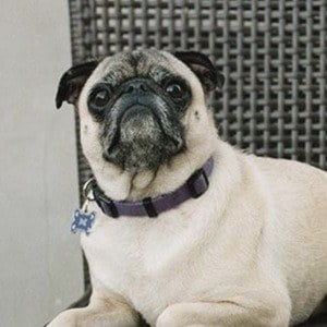 Guppy the Pug 3 of 10