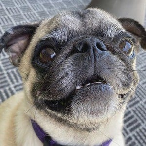 Guppy the Pug 4 of 10