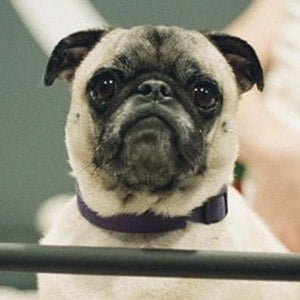 Guppy the Pug 5 of 10