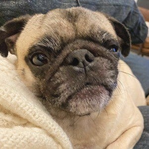 Guppy the Pug - Bio, Facts, Family