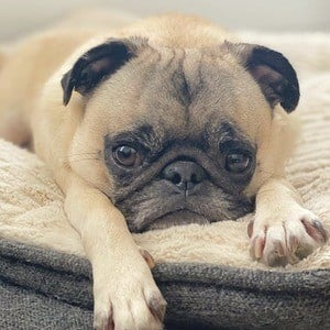 Guppy the Pug 10 of 10