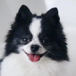 Huxley the Panda Puppy 2 of 3