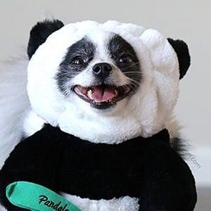 Huxley the Panda Puppy 3 of 3