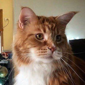 Omar the Maine Coon 3 of 10