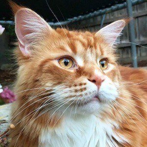 Omar the Maine Coon 6 of 10