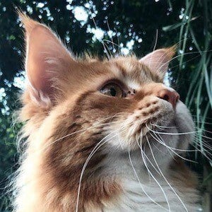 Omar the Maine Coon 9 of 10