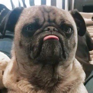 Ozzy the Pug 6 of 10