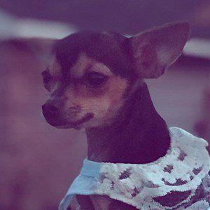 Rosetta The Chihuahua 6 of 7