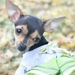Rosetta The Chihuahua 7 of 7