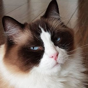 Timo the Ragdoll Cat 3 of 5